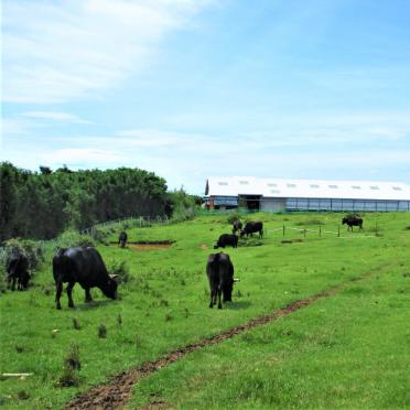 画像:見島牛のイメージ