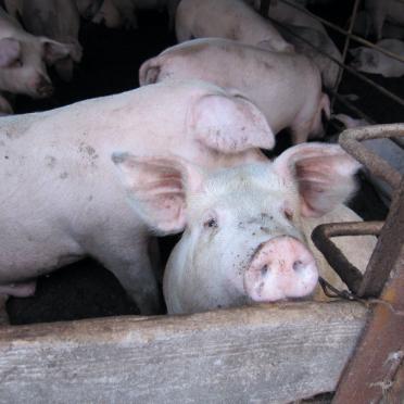 画像:むつみ豚のイメージ